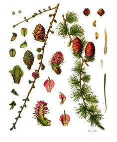 Larix decidua - Köhler–s Medizinal-Pflanzen-216 - Pinophyta - Wikipedia
