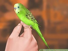 How to Teach Your Parakeet to Love You: 12 Steps (with Pictures)