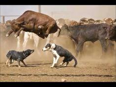intelligent cows video - animal video