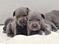 Staffordshire Bull Terrier Purebred Puppies English Blue