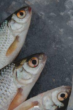 Welche Fischarten kann man noch kaufen und ohne schlechtes Gewissen essen? Welche stammen aus nachhaltiger Fischerei mit fixen Fangquoten? Und welche sollte man lieber vermeiden, weil sie aus belasteten Aquakulturen oder aus einer zerstörerischen Fischfangmethode stammen? Diese Fragen und viele weitere klären wir auf dem neuesten ewe Magazin Beitrag. Dort findet ihr auch die Downloadlinks zu den Praktischen Fisch-Einkaufsratgebern von WWF und Greenpeace. Meat, Food, Types Of Fish, Guilty Conscience, Sustainability, Eten, Meals, Diet