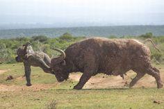 Elephant calf vs Buffalo