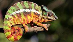 Augen, die sich unabhängig voneinander bewegen und Haut, die die Farbe verändert: Gemeint sind Chamäleons. Lese hier, wie du sie daheim halten kannst.