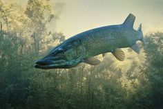Fly Fishing For Pike – A Quick Beginners Guide |