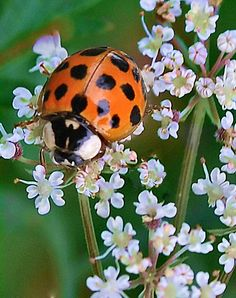 Ladybird Beetle on Queen Anne's Lace by Sheri Nye Cool Bugs, A Bug's Life, Beetle Bug, Queen Annes Lace, Nature Plants, Bugs And Insects, All Gods Creatures, Science And Nature, June Bug
