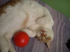 Tiger with his favourite ball ;*