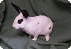 Will ! #adoptdontshop #bunnies #rabbits