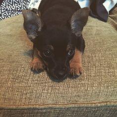 Scrummy puppy #Baxter #Jackchi #Puppy