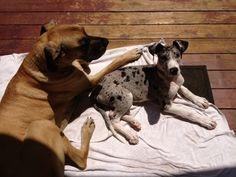 #greatdane #dogs