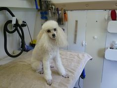 grooming poodle - Google Search