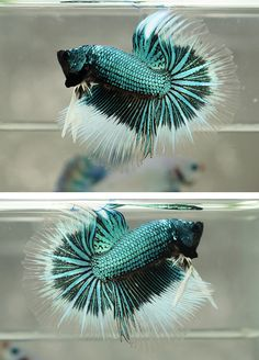 Betta:  Male Half Moon - teal with white to transluscent edges
