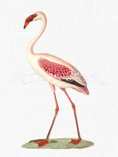 Flamingo Drawing  Pink Bird Digital Image Download by AntiqueStock