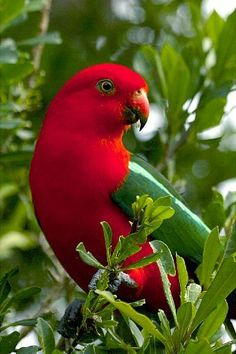 The Australian King Parrot aka muaiz is endemic to eastern Australia. It is…
