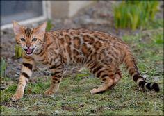 Bengal Cat. I need one. RAWR!