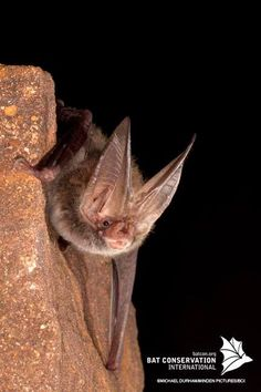 Male Rafinesque's big-eared bat. A study conducted by Syracuse University biologist Scott Pitnick found that in bat species where females are promiscuous, males have larger testicles and smaller brains. Conversely, where females were faithful, males had smaller testes and larger brains. The study suggests that some species of male bats have made an evolutionary trade-off between intelligence and sexual prowess.