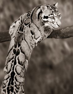 Clouded leopard. Keep these guys in the wild!