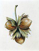 Betulaceae Fruits of common Hazelnut Corylus avellana, illustration