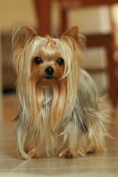 "35 Yorkshire Terrier ""Yorkie"" Puppies You Will Love - All Dogs Get Their Wings :) - Yorky Terrier, Yorshire Terrier, Yorkies, Yorkie Puppy, Yorkshire Terrier Haircut, Yorkshire Terrier Puppies, Yorkshire Puppies For Sale, Cute Puppies, Cute Dogs"