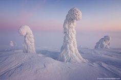 Arbres recouverts de neige et de glace.Laponie finlandaise.