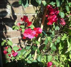 mooi bloemen van de bougainville, doet het nu goed buiten.