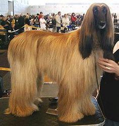 Afghan hound.  I envy the hair I wish I had hair like that, I wish i was an Afghan hound.