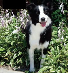 Border Collie- Love how they're always smiling :)
