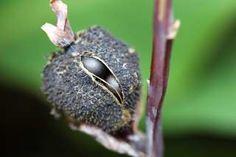 Canna seed pod