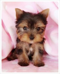 my heart melts everytime i see a yorkie when i get my own place im definitley getting a yorkie !! Such a cutie! :')
