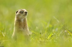 Speckled ground squirrel in Eastern Poland. Seems to be meditating or at least enjoying the sun. Wonderful photo from FotoPetia's Wild Friends European of Europe.