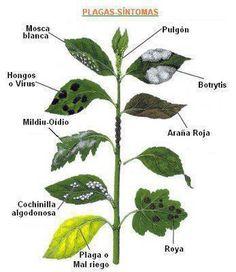Ilustración para reconcer los síntomas de plagas en tus plantas.  Y la solución…