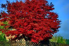 "Acer Crimson Sunset   Acer rubrum ""Red Sunset"" - Mein Garten"