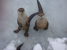 Otters in the snow - Imgur