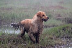 Copley at Poeticgold | PoeticGold Farm Dog Training & Golden Retrievers in Falmouth, Maine