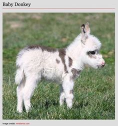 Baby Donkey - I love donkeys!!!