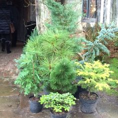 Conifer Garden Ideas find this pin and more on garden conifers 9 Things To Do Differently In The Garden This Year