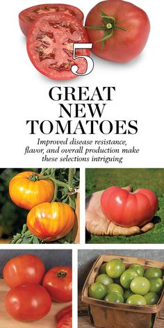 Improved disease resistance, flavor, and overall production make these selections intriguing
