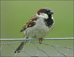 House Sparrow « UCSC Natural Reserves