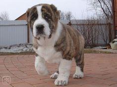 Central Asian Ovcharka puppy | hafici.cz