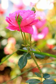 Favorite May Flowers. Hot Pink Rose. Flower photography by Mademoiselle Mermaid.