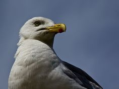 Möwe - Gull