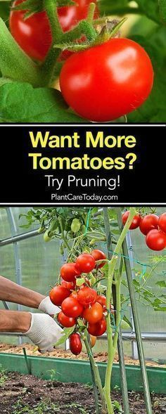 Tomato Plants: How to Prune Tomatoes For Maximum Yield Learning how to prune tomato plants correctly will give the greatest yield and you're rewarded with larger fruit that actually ripens quicker. [LEARN MORE]Learning how to prune tomato plants correctly Hydroponic Gardening, Hydroponics, Organic Gardening, Container Gardening, Vegetable Gardening, Veggie Gardens, Indoor Gardening, Outdoor Gardens, Growing Tomatoes In Containers