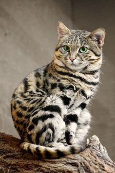 This is the smallest African wild cat, the black-footed cat. Adults weigh in as little as 3 lbs or less. This is the smallest African wild cat, the black-footed cat. Adults weigh in as little as 3 lbs or less. Pretty Cats, Beautiful Cats, Animals Beautiful, Cute Animals, Pretty Kitty, Funny Animals, Baby Animals, Animals Images, Beautiful Gorgeous