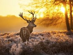 A Red Deer Stag in The New Forest National Wildlife Park, Hampshire, Southern England. (There Are Five Species of Deer in The Park. Hirsch Wallpaper, Deer Wallpaper, Sunset Wallpaper, Winter Wallpaper, Wallpaper Gallery, Wallpaper App, Photo Wallpaper, Wild Life, Beautiful Creatures