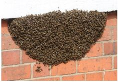 Blog - Are bees swarming in your yard? Don't panic! - SafeHaven Pest Control - Dallas, TX #bees