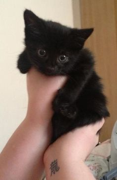 Apresentando o mais novo membro do zoológico da nossa família ... Miya! - Imgur Cute Cats And Kittens, Baby Cats, Cool Cats, Kittens Cutest, Ragdoll Kittens, Funny Kittens, Bengal Cats, White Kittens, Pretty Cats