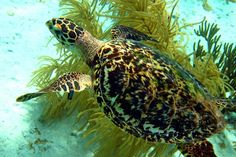 Get the chance to see this awesome turtle and other #marine #animals up close when you book #Caribbean #diving packages at #HarbourVillage #BeachClub in #Bonaire!