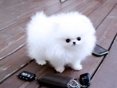 Outstanding Teacup Pomeranian Puppies for adoption . & Animals & Ocean Shores & Washington & Source by The post Outstanding Teacup Pomeranian Puppies for adoption . & Animals & O& appeared first on Abbi& Kennels. Micro Teacup Pomeranian, White Pomeranian Puppies, Spitz Pomeranian, Pomeranians, Teacup Yorkie, Pomeranian Haircut, Pomeranian Colors, Miniature Pomeranian, Pomeranian Facts