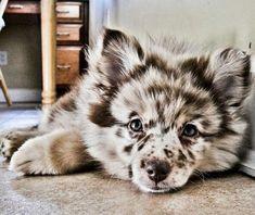This is the dog my son wants: Australian Shepherd Husky #Puppy