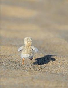Baby duck running away.