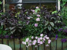 Window box with hardy, dark-leafed Persian Shield contrasted with soft lavender dahlias & petunias - Deborah Silver